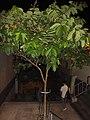HK 上環 Sheung Wan night green plants 磅巷 Pound Lane November 2017 IX1 tree 大花紫薇 Lagerstroemia speciosa 01.jpg