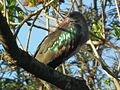 Hadada ibis Bostrychia hagedash Tanzania 0189 cropped Nevit.jpg