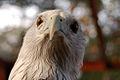 Haliastur indus -Hua Hin Zoo, Thailand -head-8a (1).jpg