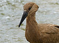 Hamerkop (Scopus umbretta) (12717242274).jpg