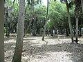 Hammock (forest) floor inside Florida's Myakka State Park 1.jpg