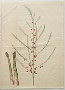 Hans Simon Holtzbecker - Asparagus officinalis - Google Art Project.jpg