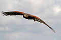 Harris Hawk 7c (6944103537).jpg