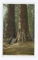 Haverford, Big Trees, Mariposa, Calif (NYPL b12647398-62558).tiff