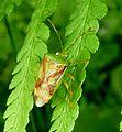 Hawthorn Sheild Bug. Acanthosoma heamorrhoidale - Flickr - gailhampshire.jpg