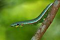 Hebomoia glaucippe formosana larva 20130824.jpg