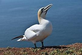Helgoland - Basstölpel.jpg