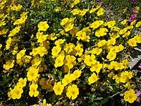 Helianthemum nummularium ssp grandiflorum 1