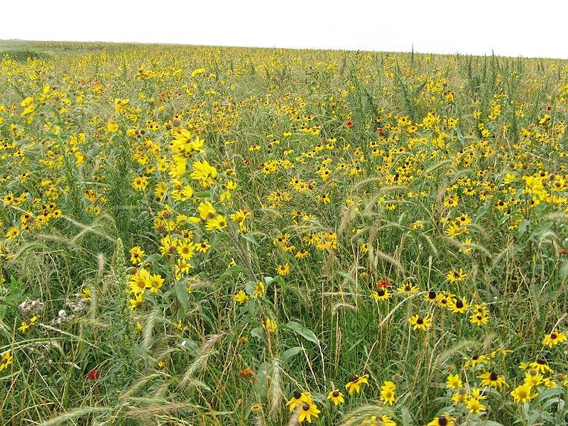 File:Helianthus maximiliani - Maximillian Sunflower and Black-eyed Susan (12776000213).jpg