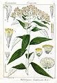 Helichrysum buddleioides Rungiah.jpg