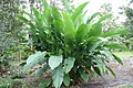Heliconia caribaea x Heliconia bihai Jacquinii 0zz.jpg