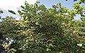 Helicteres isora (East Indian screw tree) W IMG 1253.jpg