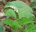 Heliotropium indicum 1.jpg