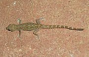 Hemidactylus garnotii - Mindanao, Philippines 5.jpg