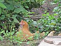 Hen and Chicks in the Grass.jpg