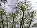 Heracleum mantegazzianum R.H. 02.jpg