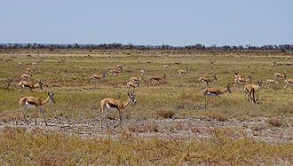 Springbok - A herd