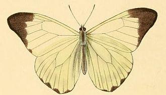 Hesperocharis nera - Image: Hesperocharis nera