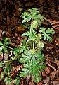 Hibiscus (AM AK344459-2).jpg