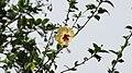 Hibiscus (Sylvia Goodman).jpg