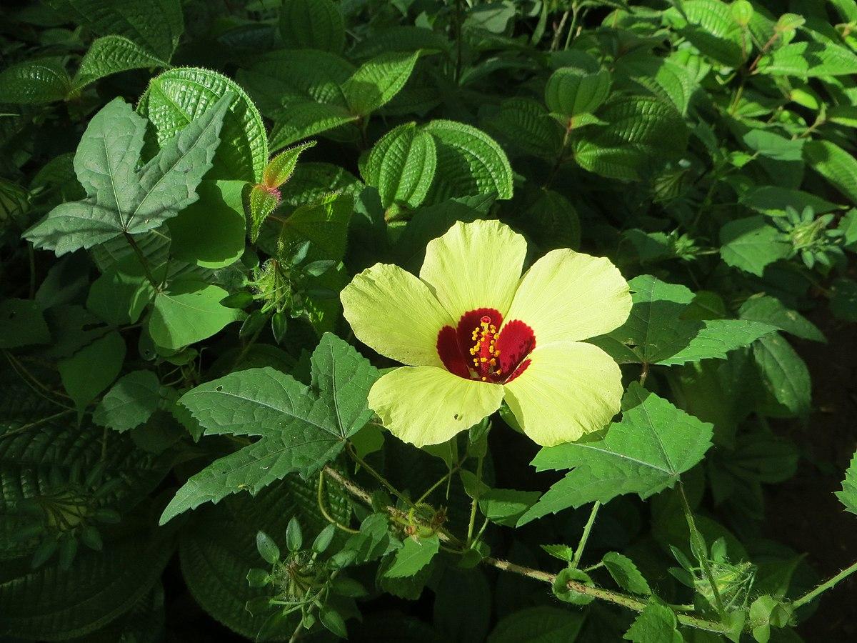 Hibiscus surattensis wikip dia - Comment entretenir un hibiscus ...