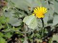 Hieracium tomentosum-IMG 5615.jpg