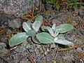 Hieracium tomentosum 2016-04-22 8804.JPG