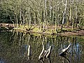 High Beach Epping Forest pond reflections, Essex, England 01.jpg