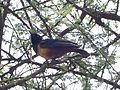 Hildebrant's Starling. Lamprotornis hildebrandti - Flickr - gailhampshire.jpg