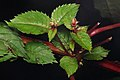 Himalayan Balsam (Impatiens glandulifera) - Waterloo, Ontario 03.jpg