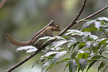 Himalayan Striped Squirrel Khangchendzonga Biosphere Reserve West Sikkim India 25.10.2015.jpg