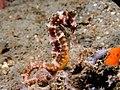 Hippocampus histrix (Thorny seahorse).jpg