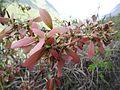 Hiptage benghalensis (fruits).jpg
