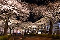 Hitachi Sakura Festival, Ibaraki 27.jpg