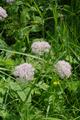 Hoher Vogelsberg Floesserteiche Chaerophyllum hirsutum.png
