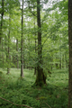 Hoher Vogelsberg Wannersbruch NR 319289 Alnus glutinosa Forest.png