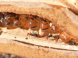 Honeypot ant - Myrmecocystus honeypot ants, showing the repletes or plerergates, their abdomens swollen to store honey, above ordinary workers
