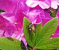Honey Bee (Apis cerana) on a Rhododendron leaf in Hong Kong.JPG