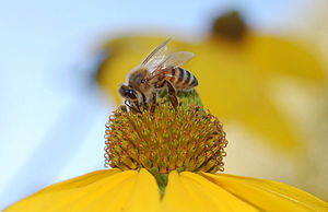 Rudbeckia - Image: Honey Bee on Rudbeckia
