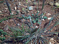 Hordeum murinum CampoCalatava.jpg