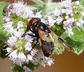 Hover Fly. Volucela pellucens - Flickr - gailhampshire.jpg