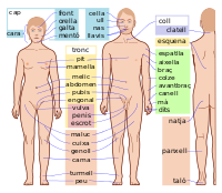 Human body features-ca.svg