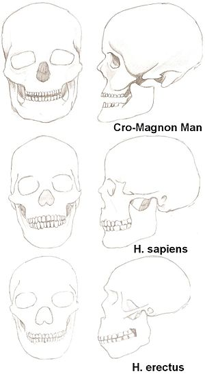 Three skulls of men: An Homo erectus, a Homo s...