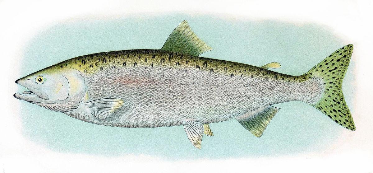 pin adult ocean salmon - photo #42
