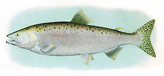 Pink salmon - Male ocean phase pink salmon