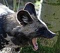 Hunting Dog 2 (16718086705).jpg