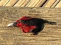 Hunting Kaleej Pheasant Namdapha.jpg