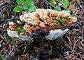 Hydnellum aurantiacum 468725.jpg