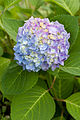 Hydrangea undecided on a color scheme (5889373292).jpg
