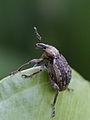 Hypera zoilus (Curculionidae- Hylobiinae) (9629686400).jpg